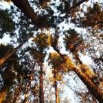 Bosquet de pins