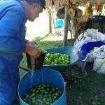 Moava préparant ces citrons pour leur périple jusqu'à Bora-Bora