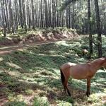 Plantation de pinus du plateau de Toovii
