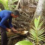 A la recherche d'un cœur de palmier