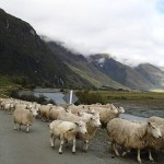 Matukituki Valley, la rivière ou les moutons squattent la route