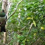 Wood pigeon (kereru)