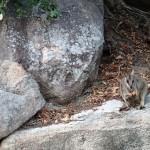 Rock wallabies