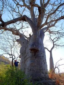 Baobabs à Ivy Cove (Glauert Island)