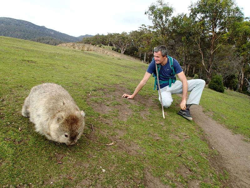 La tondeuse de Maria Island, le wombat !