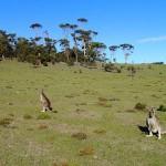Kangaroos en goguette