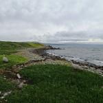 Cape Barren Geese (oies)