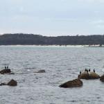 Cormorans et pélicans squattent le même espace